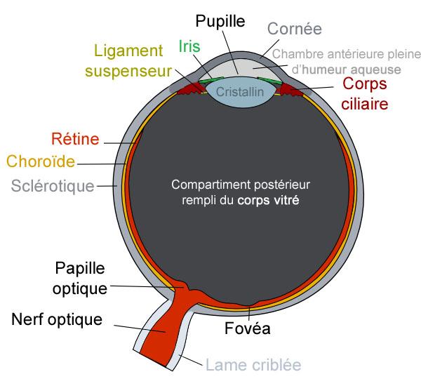 Anatomie association microphtalmie france - Couche du globe oculaire ...